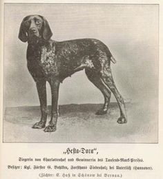 German Shorthaired Pointer, born 1895.