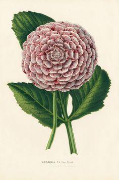 Zenobia. Louis van Houtte. Flore des Serres 1858