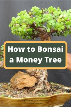 Discover the Art of Bonsai an Ancient Japanese Art Of Imitating Nature in miniature. This Video shows a very easy way to introduce you to simple Bonsai technique using the lucky money tree. The Money Tree is also known as the Jade tree and reacts well to pruning,this video shows a plant that is over 20 years old.  #bonsai #japaneseart #indoorplants #interiordesign #bonsaimoneytree #plantideas #desktopplants #homeofficeplants #japanesebonsai #jadeplant Money Tree Bonsai, Money Trees, Bonsai Art, Bonsai Garden, Buy Moss, Jade Tree, Ancient Japanese Art, Planting Plants, Money Plant