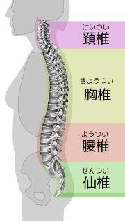 解剖学/体幹の骨 - Wikibooks