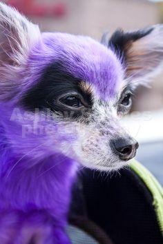 Purple puppy! - Pet Photography - Dog Photography
