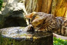 89cats:  Water cat by Photos by Gary on Flickr.