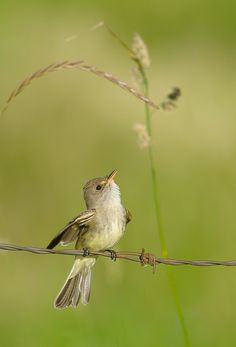 The Willow Flycatcher (Empidonax traillii) is a small insect-eating, neotropical migrant bird of the tyrant flycatcher family.