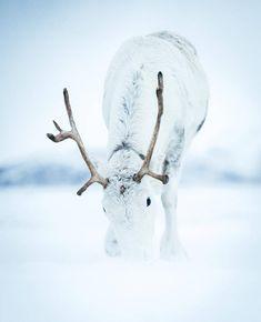 """11.2 tusind Synes godt om, 107 kommentarer – My Norway (@mynorway) på Instagram: """"Reindeer in Northern Norway ❄ Photo by @georgetheexplorer"""""""