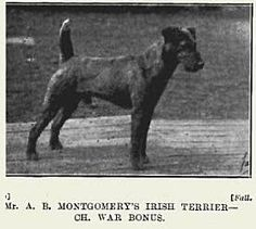 1925 Irish Terrier