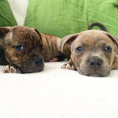 Patiently waiting for their forever home in Austin. For more info @ernestpwigglesworth by pitbullsofinstagram