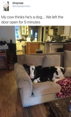 Y do they have a pet cow? Why did they let a cow in their house? Why is the cow on their furniture? Doesn't it smell? Can u give a cow a bath?