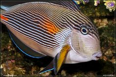 Acanthus Lineatus - Lined Surgeonfish