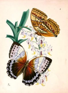 free ... Butterfly Images for Your Art – Fourth and Last Set Below are a series of vintage butterfly plates.  You are free to use these in your art.   To download an image, click on the image to expand it, right-click and select Save As.http://artfullymusing.blogspot.com/2011/07/butterfly-images-for-your-art-fourth.html