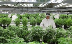 Legal Pot Farmers Hope to Grow a Green Energy Revolution