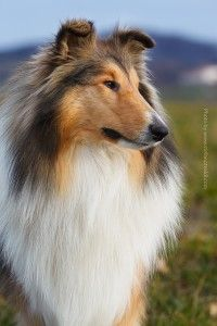 Collie Collie, Dogs, Photography, Animals, Animales, Animaux, Pet Dogs, Doggies, Photograph