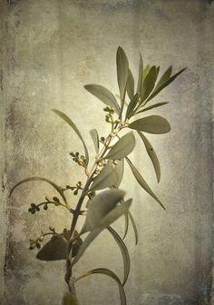 Olive branch, via Flickr.