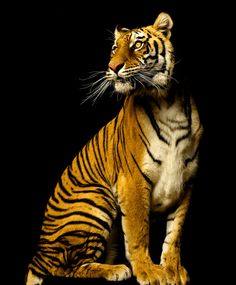 Tiger Queen - Cats & Animals Background Wallpapers on Desktop . Beautiful Cats, Animals Beautiful, Cute Animals, Colorful Animals, Big Cats, Cats And Kittens, Grand Chat, Gato Grande, Mundo Animal