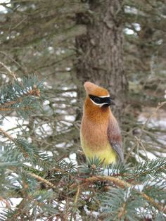 Needle Felted Bird  Cedar Waxwing by kiyoshimino on Etsy, $400.00  obviously not made by me but something to aspire too, just awesome