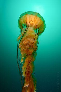 Chrysaora fuscescens by Alexander Semenov //explore Jellyfish Sting, Jellyfish Drawing, Jellyfish Painting, Jellyfish Tattoo, Watercolor Jellyfish, Pet Jellyfish, Tattoo Watercolor, Jellyfish Light, Jellyfish Pictures