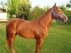 QH castrone di 4 anni http://www.equirodi.it/annunci/cavallo/qh-castrone-di-4-anni-163223.htm