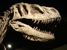 Cool Sinraptor Hi Resolution Dinosaur Skull (id: 177704) – BUZZERG