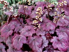 163 best plants perennials part sunshade zone 5 images on heuchera plum royale large mounds of shiny purple non fading foliage shade flowersshade mightylinksfo
