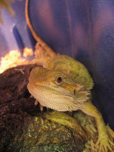 Sunburst bearded dragon - photo#14