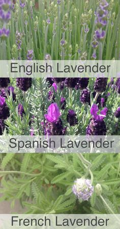 How to Grow and Use Lavender For Your Family — Daily Harvest Designs, LLC - Modern Design Lavender Plant Care, Growing Lavender, Growing Herbs, Growing Flowers, Lavender Flowers, Planting Flowers, Purple Flowers, Types Of Lavender Plants, French Lavender Plant