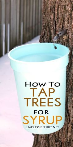 Gardening For Beginners How to tap trees in your garden for sap to make homemade syrup: maple, walnut… - How home gardeners can tap trees for sap to produce their own syrup. Trees that produce sap for syrup include maple, hickory, birch, and walnut.