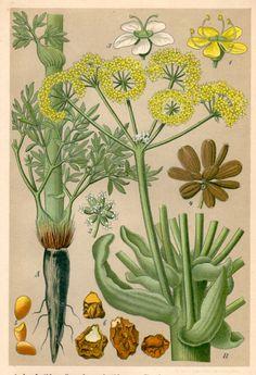 1901 Antique Botanical Print Asa Foetida Vintage by Craftissimo