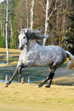 Andalusian horse. My favourite breed especially with this coat color
