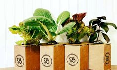 "An entrepreneur in Fishers says he's familiar with skeptics, but intends to prove them wrong one head of lettuce at a time. Which, amazingly, grows indoors. In a cardboard ""box."" With only 16 ounce. Hydroponic Growing, Hydroponic Gardening, Aquaponics, Indoor Gardening, Gardening Tips, Growing Flowers, Growing Plants, Toenail Fungus Treatment, Head Of Lettuce"