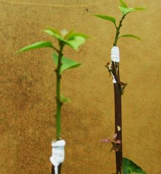 theperanakanconnection: How to graft a bougainvillea to get multi-coloured bracts