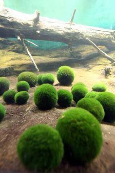 The ball-shaped marimo algae of Lake Akan. A marimo is a rare growth form of the species where the algae grow into large green balls with a velvety appearance. Colonies of marimo are only known to form in Iceland, Scotland, Japan and Estonia. Live Aquarium Plants, Planted Aquarium, Live Plants, Aquascaping, Marimo Moss Ball, Aquarium Fish Tank, Fish Tanks, Fish Aquariums, Moss Garden