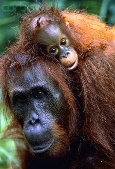 "Orang Utan ""Human of the forest"""