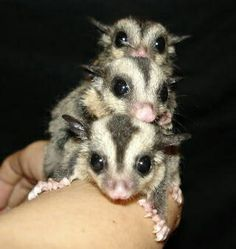 sugar gliders pet i want # gliders * pet sugar gliders Baby Ferrets, Baby Skunks, Sugar Glider Baby, Jungle Animals, Baby Animals, Small Animals, Baby Possum, Sugar Bears, Humorous Animals
