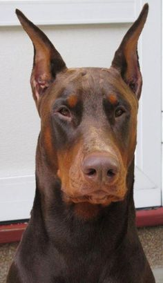 Doberman Colors, Doberman Love, Brown Doberman, Red Doberman Pinscher, I Love Dogs, Cute Dogs, Rottweiler Dog, Crazy Dog, Best Dogs