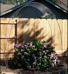 Arbor made using rebar and hog wire. I've planted Clematis to cover the arbor and create shade for the Hydrangea.