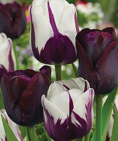 This Blueberry Chocolate Tulip Blend Bulb - Set of 18 by Spring Hill Nursery is perfect! #zulilyfinds