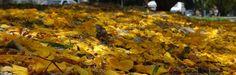 El suelo se cubre de oro cuando florea la naturaleza y la deposita su alteza en Las Delicias de Maracay en Venezuela.