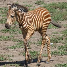 Very young Grant's zebra at the Kansas City Zoo, August 2010.  Her stripes will turn black between six and eighteen months.