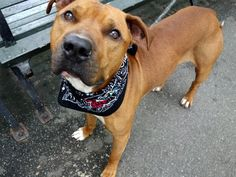 GRIFFEY - A1083344 - - Manhattan  Please Share:   TO BE DESTROYED 08/11/16  ***A GENEROUS DONOR HAS PLEDGED $125. TO NEW HOPE RESCUE THAT PULLS THIS DOG TONIGHT***A volunteer writes: I don't know if Griffey was named for the Seattle Mariners Hall of Famer Ken Griffey, Jr., but I do know that Griffey has been placed in my personal Hall of Fame. What a great dog! Breathtaking in his gorgeous rust color coat, he's super quiet in his kennel, goes potty the moment we