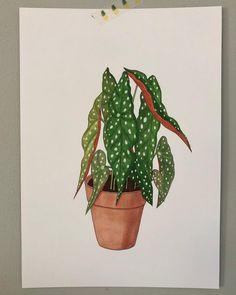 1,151 vind-ik-leuks, 32 reacties - ♡ Plants & Illustrations ♡ (@drawingplantlady) op Instagram: 'Begonia maculata drawing '