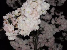 As cerejeiras fizeram bonito este ano!!