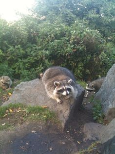 racoons - our night visitor who occasionally has shout outs with our cat (luckily from the other side of the glass doors.)