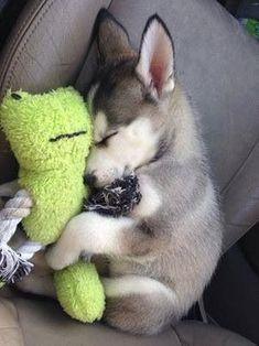 Husky cuddling with a plushy!!  #siberianhusky