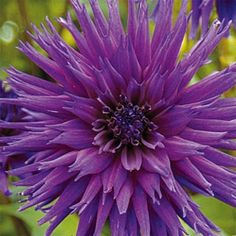 "2015 Cactus Dahlia Ambition Front right ordered 36-40"" 1bag of 5. MORE MAGENTA THAN BLUE"