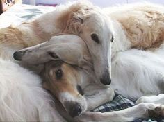 OK, these are borzoi and not greyhounds, but they're all pretty closely related, right?