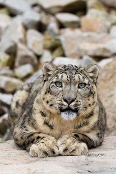 snow leopard (by Cloudtail, via Flickr)