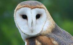 「フクロウ」の画像検索結果