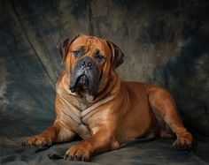 history on boerboel dogs - Google Search-omg! Doesn't this look like an older fatter version of Hugo?!