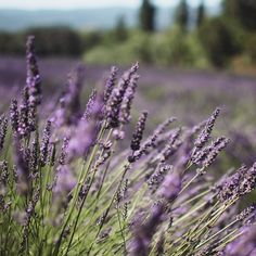 #lavender #provence #france #magnifique #trebien #beautiful #purple #provenza #provencealpescôtedazur #provencelife #simplelife