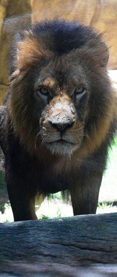 #Leao no #Zoologico do #RiodeJaneiro - Photo: #AlexandreMacieira | #RioZoo #RJ #Brasil