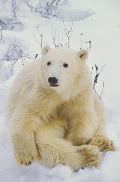 Polar Bear Cub Sitting Photograph by John Pitcher - Polar Bear Cub Sitting Fine Art Prints and Posters for Sale